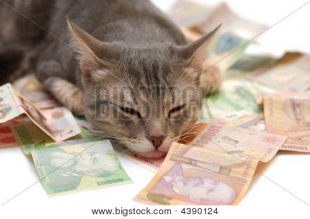 Grey Striped Cat Sleeping On Money Banknotes