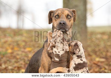 Louisiana Catahoula Dog Scared Of Parenting
