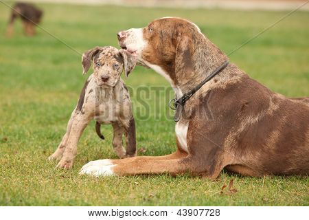 Louisiana Catahoula Bitch With Puppy