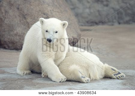 Two funny white polar bears