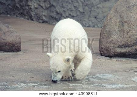 Little funny white polar bear snuff