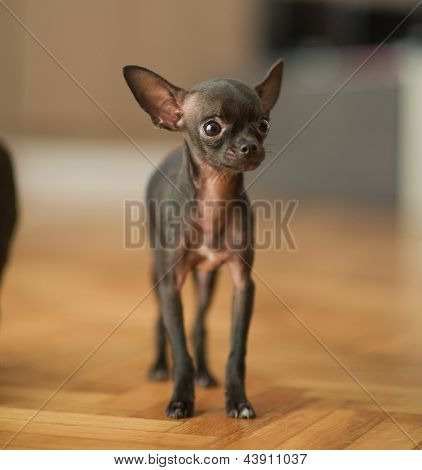 Portrait Of Young Chihuahua, Indoors