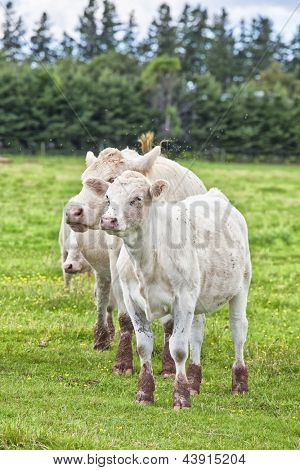 Young Charolais calves and cow grazing in a field and surrounded by thousands of flies. Charolais are grown as beef livestock. In rural Prince Edward Island, Canada.
