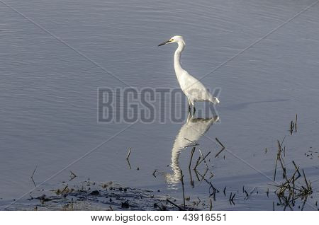 Snowy White Egret on the Hunt
