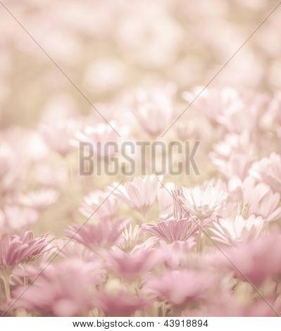Rosa Abstact floral, flores de Margarita, enfoque suave, naturaleza de la primavera, blooming Prado, superficial