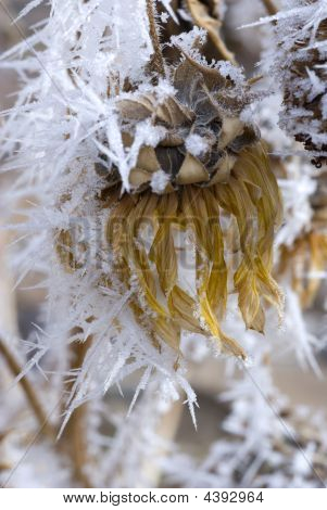 Hoar Frost On Dead Sunflower