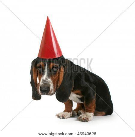 a baby basset hound puppy