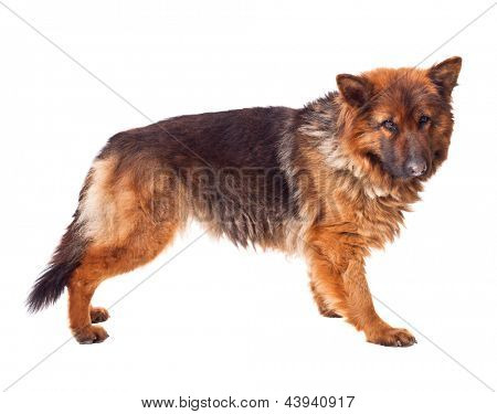 portrait of german sheperd long fur on white
