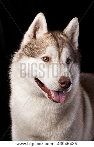Husky-Schlitten-Hunderassen