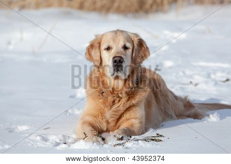 Beautiful Golden Retriever Gnawing Stick Outside In Cold Winter Snow
