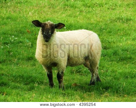 Stray Sheep