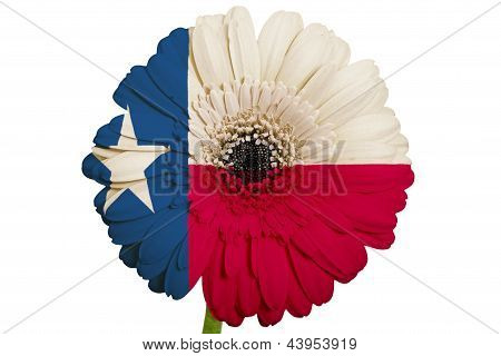 Gerbera Daisy Flower In Colors Flag Of American State Of Texas   On White Background As Concept And