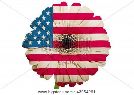 Gerbera Daisy Flower In Colors National Flag Of America   On White Background As Concept And Symbol