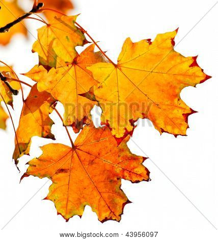 Yellow autumn leaves against white background