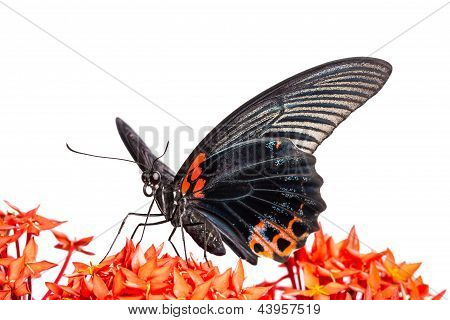 Great Mormon (papilio Memnon Agenor) Butterfly