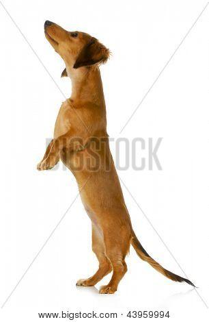 perro mendicidad - dachshund de pelo largo salto hasta aislado sobre fondo blanco