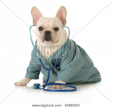veterinary care - french bulldog dressed up like a vet wearing a stethoscope isolated on white background