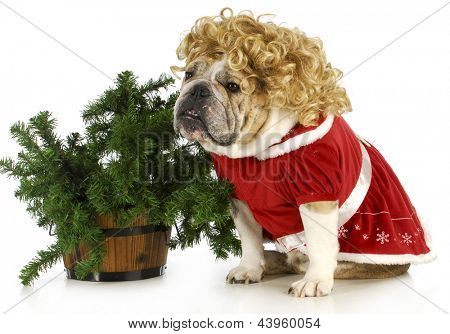 mrs claus - english bulldog dressed up like mrs claus sitting beside christmas tree isolated on white background