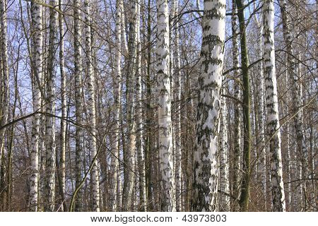 Birch wood in spring