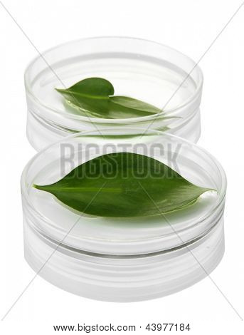 Genetically modified leaves tested in petri dishes isolated on white