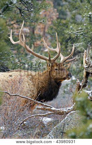 Proud Elk