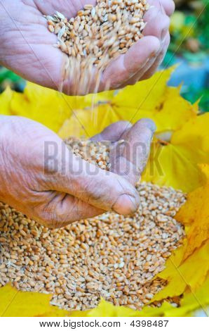 Gold Corn