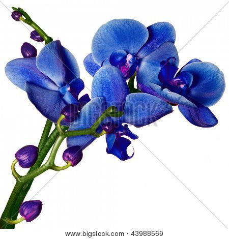 Blue Orchid phalaenopsis beautifiul flowers isolated on white