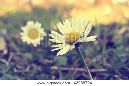 Spring Daisy Flowers In Vintage Style