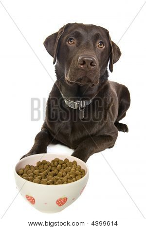 Chocolate Labrador Eating A Bowl Of Food