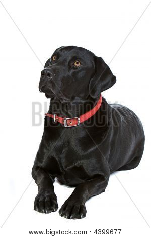 Black Labrador In Studio