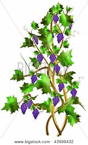 Shrub with fresh grapes and leaves for winemaking.