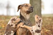 stock photo of catahoula  - Nice brown Louisiana Catahoula dog scared of parenting - JPG