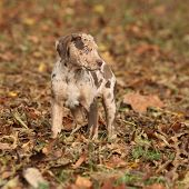 image of catahoula  - Adorable brown Louisiana Catahoula puppy in autumn