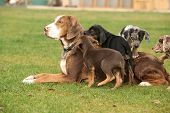 picture of catahoula  - Louisiana Catahoula bitch with puppies on the grass - JPG