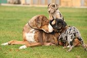 foto of catahoula  - Louisiana Catahoula bitch with puppies on the grass - JPG