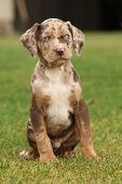 stock photo of catahoula  - Louisiana Catahoula puppy sitting on the grass - JPG