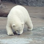stock photo of snuff  - Little funny white polar bear snuff - JPG