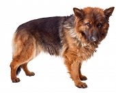 picture of german-sheperd  - portrait of german sheperd long fur on white - JPG