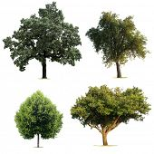 stock photo of linden-tree  - Isolated Tree Collection - JPG