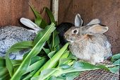 stock photo of rabbit hutch  - Rabbits eat corn leaves in the cage - JPG