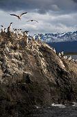 picture of tierra  - King Cormorant colony sits on an Island in the Beagle Channel - JPG