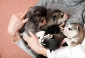 stock photo of husky  - little husky puppies sleeping on female hands - JPG