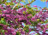 stock photo of judas  - bright red flowers of judas tree on a background of blue sky - JPG