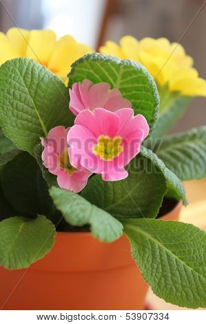 Primrose Flower In Pot