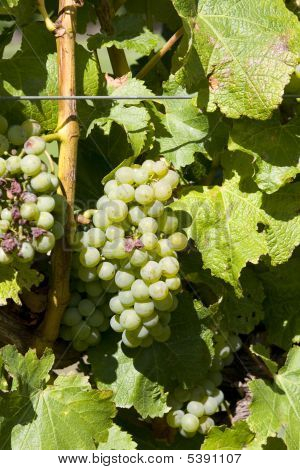 White Grapes In Close Up