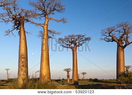 Group Of Baobab Trees
