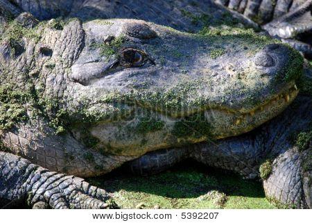 Alligator Upclose