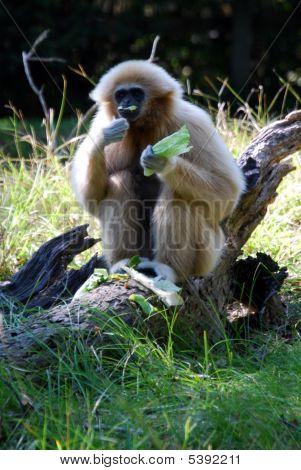 Gibbon Eating