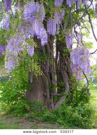Tree With Wisteria