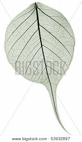 Dark Gree Transparent Dried Fallen Leaf